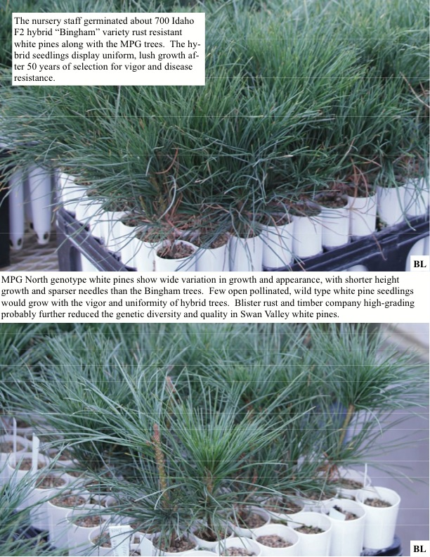"""The nursery staff germinated about 700 Idaho F2 hybrid """"Bingham"""" variety rust resistant white pines along with the MPG trees.."""