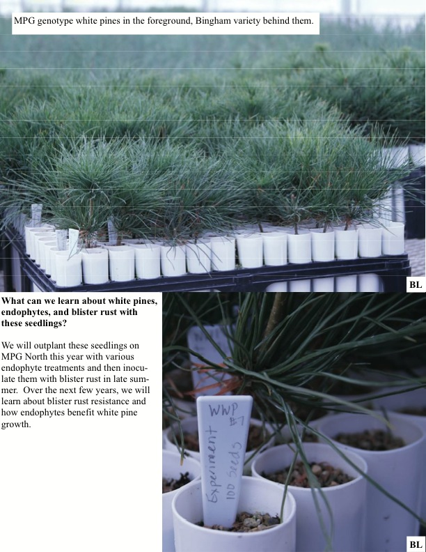 What can we learn about white pines, endophytes, and blister rust with these seedlings?