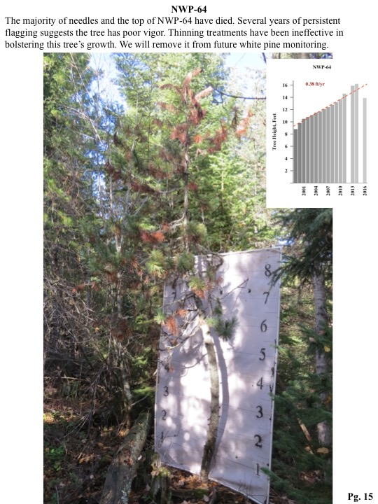 The majority of needles and the top of NWP-64 have died. Several years of persistent flagging suggests the tree has poor vigor. Thinning treatments have been ineffective in bolstering this tree's growth. We will remove it from future white pine monitoring