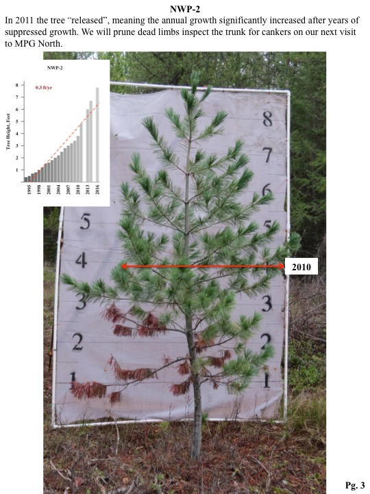 "In 2011 the tree ""released"", meaning the annual growth significantly increased after years of suppressed growth. We will prune dead limbs inspect the trunk for cankers on our next visit to MPG North."