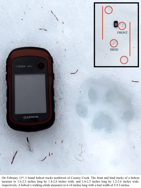 On February 11th, I found bobcat tracks northwest of Cooney Creek. The front and hind tracks of a bobcat measure to 1.6-2.5 inches long by 1.4-2.6 inches wide, and 1.6-2.5 inches long by 1.2-2.6 inches wide, respectively. A bobcat's walking stride measure