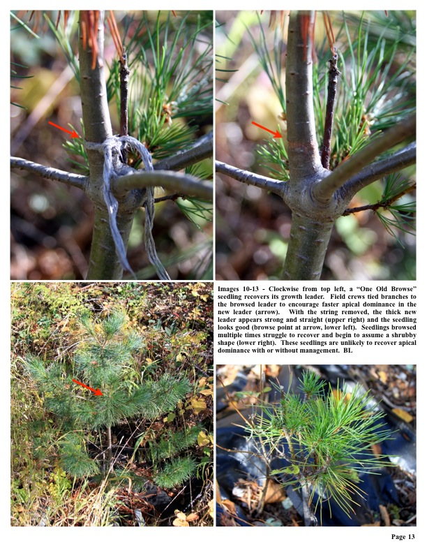 """Images 10-13 - Clockwise from top left, a """"One Old Browse"""" seedling recovers its growth leader. Field crews tied branches to..."""