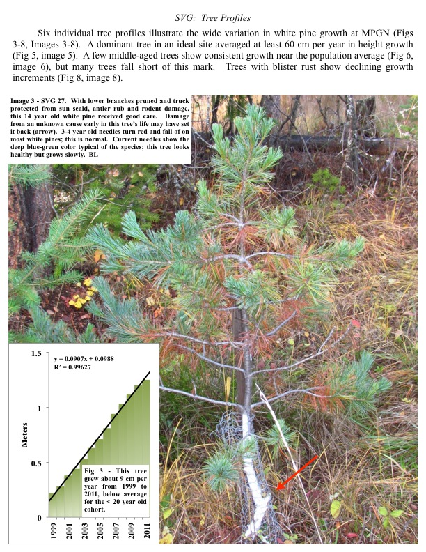 Six individual tree profiles illustrate the wide variation in white pine growth at MPGN (Figs 3-8, Images 3-8). A dominant...
