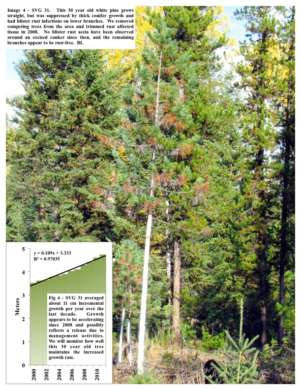 Image 4 - SVG 31. This 30 year old white pine grows straight, but was suppressed by thick conifer growth and had blister rust..