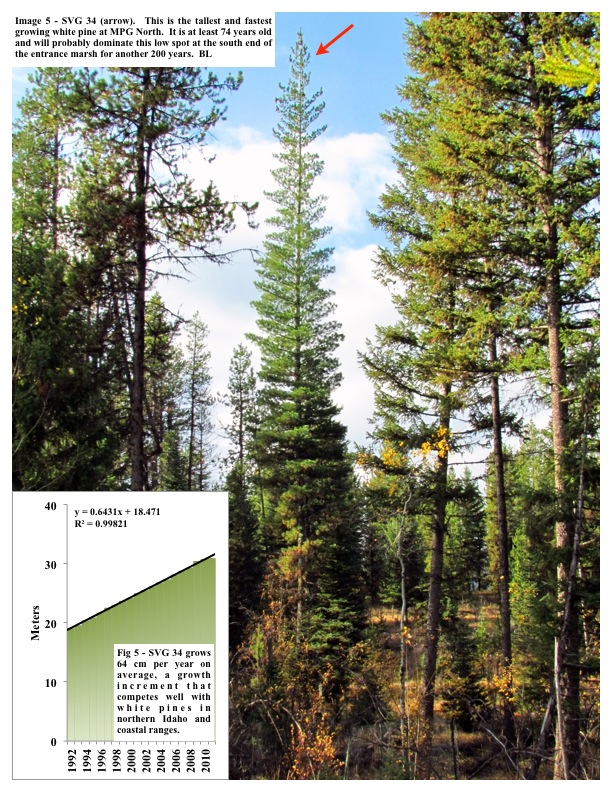 Image 5 - SVG 34 (arrow). This is the tallest and fastest growing white pine at MPG North. It is at least 74 years old and...
