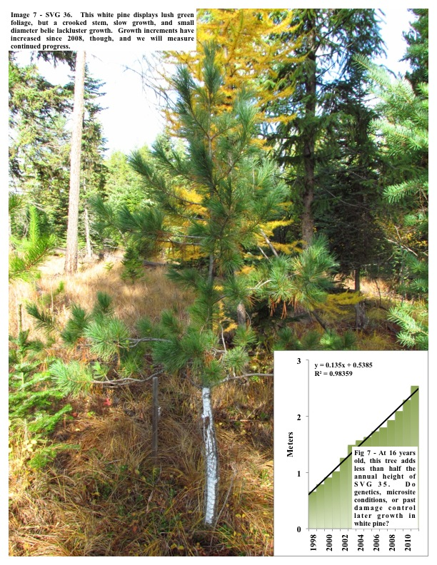 Image 7 - SVG 36. This white pine displays lush green foliage, but a crooked stem, slow growth, and small diameter belie...