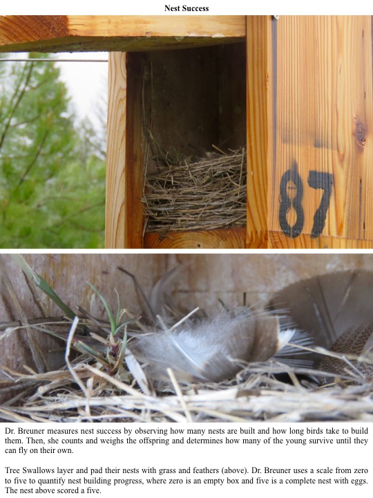Dr. Breuner measures nest success by observing how many nests are built and how long birds take to build them. Then, she counts and weighs the offspring and determines how many of the young survive until they can fly on their own.