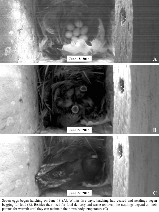 Seven eggs began hatching on June 18 (A). Within five days, hatching had ceased and nestlings began begging for food (B).