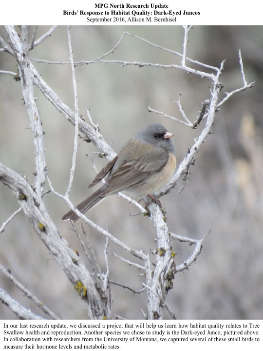 In collaboration with researchers from the University of Montana, we captured several Dark-eyed Junco to measure their hormone levels and metabolic rates.