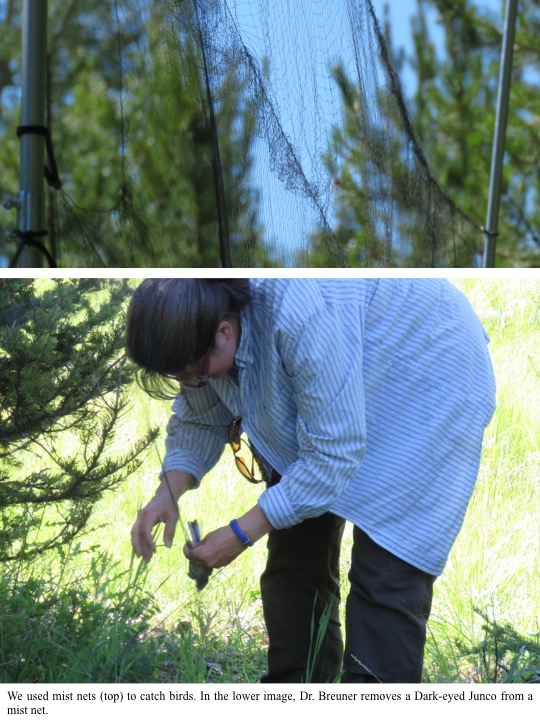 We used mist nets (top) to catch birds. In the lower image, Dr. Breuner removes a Dark-eyed Junco from a mist net.