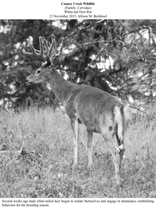 Several weeks ago male white-tailed deer began to isolate themselves and engage in dominance establishing behaviors for the breeding season.