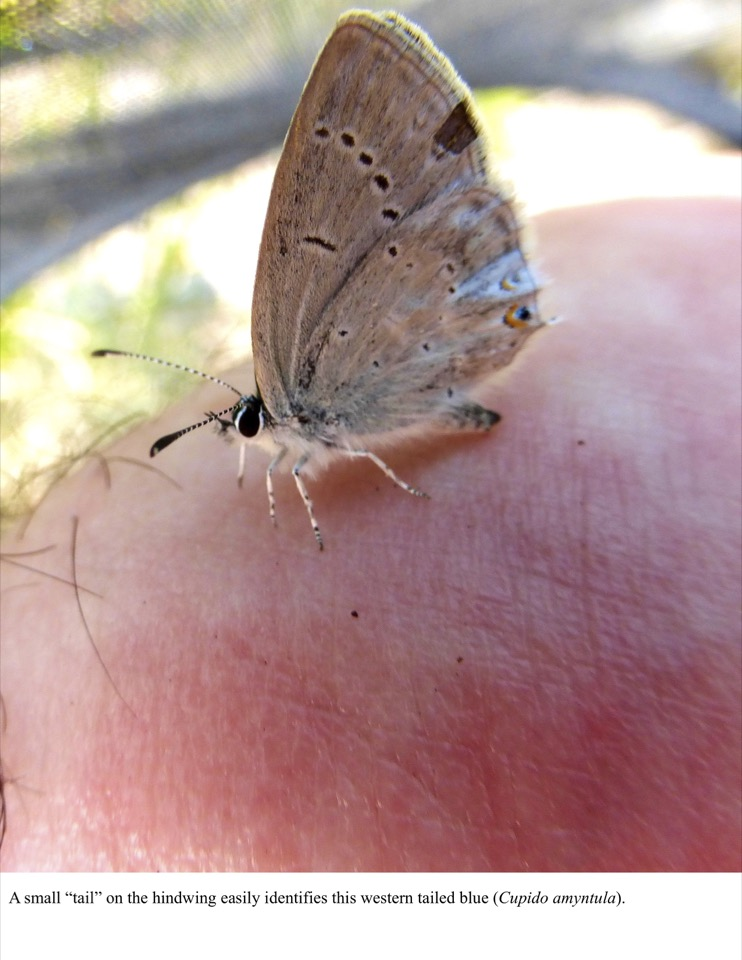 "A small ""tail"" on the hindwing easily identifies this western tailed blue (Cupido amyntula)."