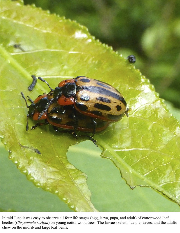 In mid June it was easy to observe all four life stages (egg, larva, pupa, and adult) of cottonwood leaf beetles (Chrysomela scripta) on young cottonwood trees.