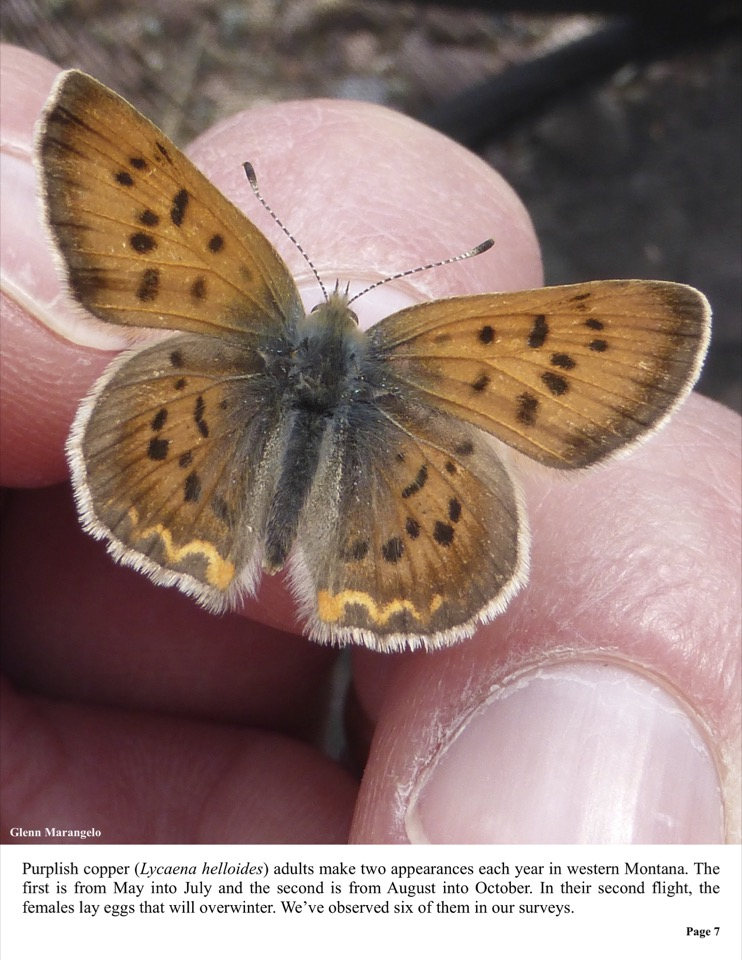 Purplish copper (Lycaena helloides) adults make two appearances each year in western Montana