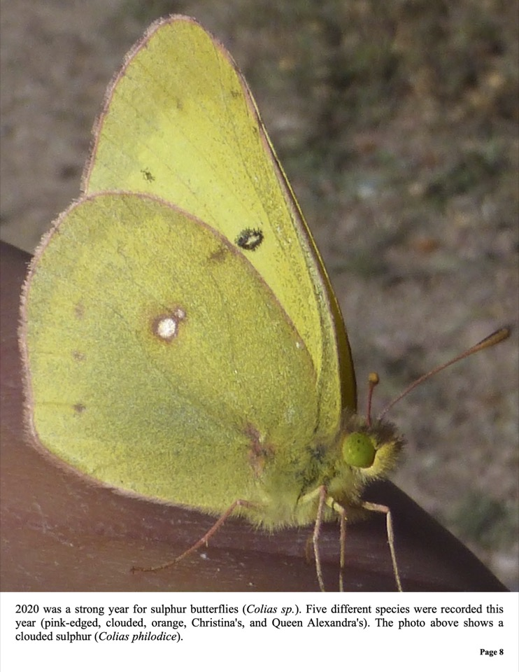 2020 was a strong year for sulphur butterflies